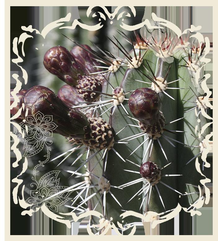 Cactusbud_web